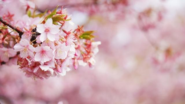 桜の画像 2020年母の日