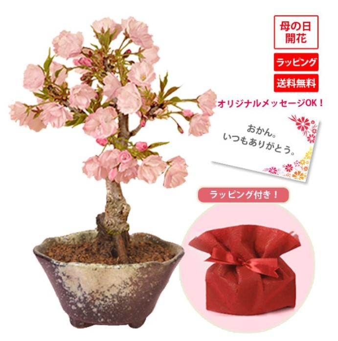 母の日に桜盆栽