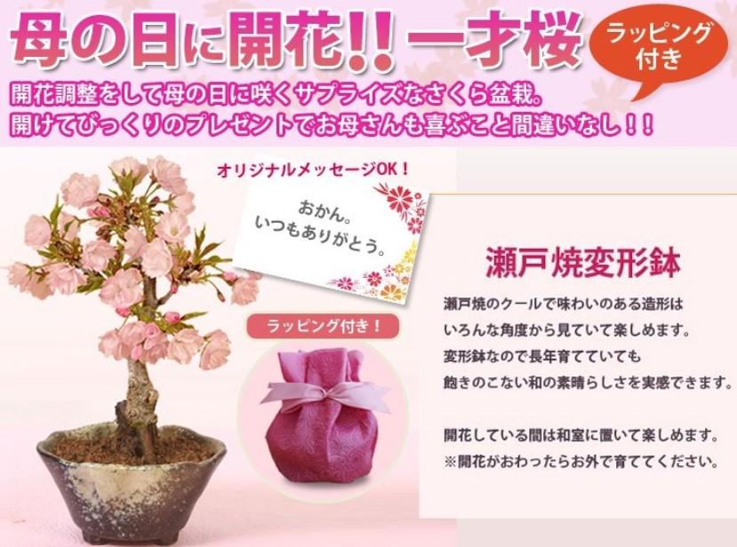 母の日に桜盆栽が珍しい